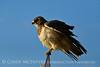 Swainson's Hawk, Hayden CO (5)