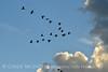 Sandhill Cranes, Hayden, Colorado (17)