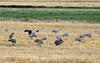 Sandhill Cranes, Hayden, Colorado (3)