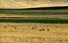 Sandhill Cranes, Hayden, Colorado (5)
