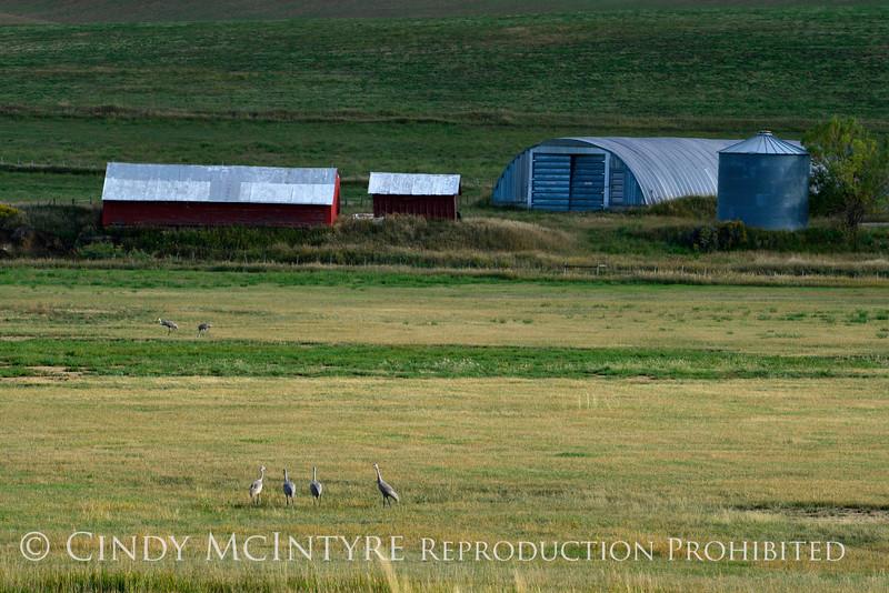 Sandhill Cranes, Hayden, Colorado (1)