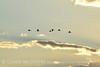 Sandhill Cranes, Hayden, Colorado (16)