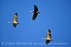 Sandhill Cranes, Hayden, Colorado (15)