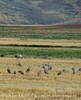 Sandhill Cranes, Hayden, Colorado (6)