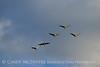 Sandhill Cranes, Hayden, Colorado (12)