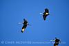 Sandhill Cranes, Hayden, Colorado (14)