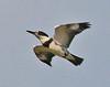 Belted Kingfisher in flight juvenile