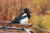Black-billed Magpie, CO (11)