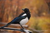 Black-billed Magpie, CO (8)