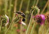 Lesser Goldfinches on Thistle, Mesa Verde (16)