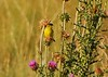 Lesser Goldfinches on Thistle, Mesa Verde (4)