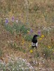 Black-billed Magpie, COLO (8)