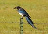Black-billed Magpie, COLO (2)