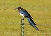Black-billed Magpie, COLO (2)