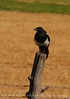 Black-billed Magpie, COLO (1)