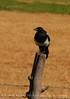 Black-billed Magpie, COLO (1)