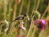 Lesser Goldfinches on Thistle, Mesa Verde (18)
