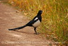 Black-billed Magpie, CO (3)