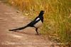 Black-billed Magpie, CO (3)