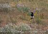 Black-billed Magpie, COLO (4)