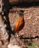 American Robin male (2)
