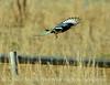 Black-billed magpie flying