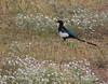 Black-billed Magpie, COLO (10)