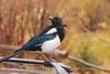 Black-billed Magpie, CO (10)