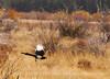 Black-billed Magpie, CO (4)