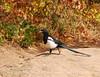 Black-billed Magpie, CO (12)