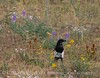 Black-billed Magpie, COLO (7)