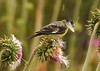 Lesser Goldfinches on Thistle, Mesa Verde (17)
