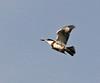 Belted Kingfisher in flight juvenile (1)
