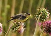Lesser Goldfinches on Thistle, Mesa Verde (13)