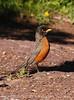 American Robin male (3)