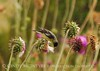 Lesser Goldfinches on Thistle, Mesa Verde (9)