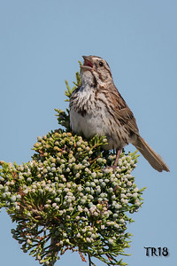 SONG SPARROW - SOUTHOLD
