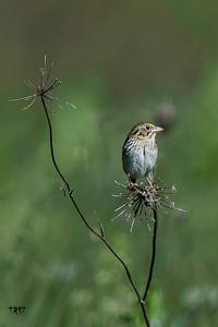 Henslow's Sparrow - Shawangunk