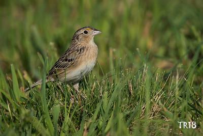 GRASSHOPPER SPARROW - CALVERTON