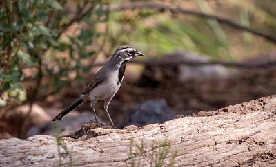 Black-throated Sparrow Dave Jasper's feeders Chiricahua Mountains near Portal southeast Arizona June 6-12 2019-1055602