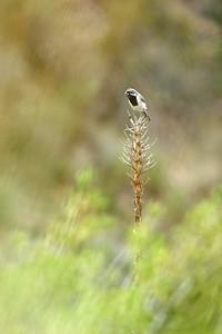 Black-throated Sparrow Big Bend National Park TX 150_5028