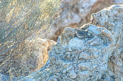 Brewer's Sparrow Antelope Island Great Salt Lake UT SLIDE SCAN BIRDS-30