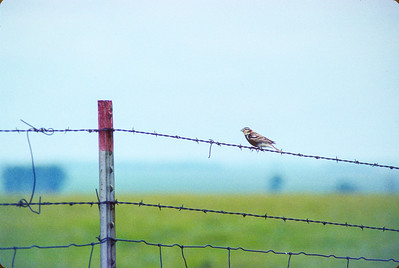 Chestnut-collared Longspur Felton Prairie Clay County MN SLIDE SCAN BIRDS-49