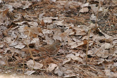 Fox Sparrows are boldly marked but virtually disappear when foraging on a leafy forest floor [April; Skogstjarna, Carlton County, Minnesota]