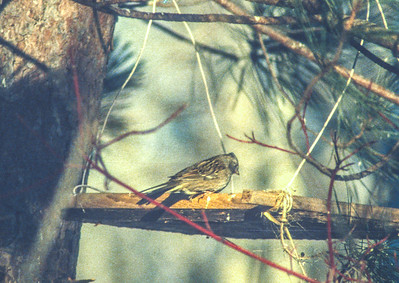 Golden-crowned Sparrow Gilby's house near Hawk Ridge Feb 1990? Duluth MN SLIDE SCAN BIRDS-19