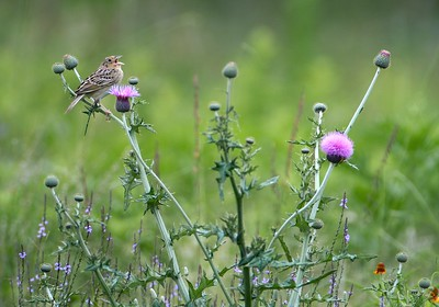 You couldn't tell it by looking at this photo, but Grasshopper Sparrows have a very high-pitched soft song [April; Sick Dog Ranch near Alice, Texas]