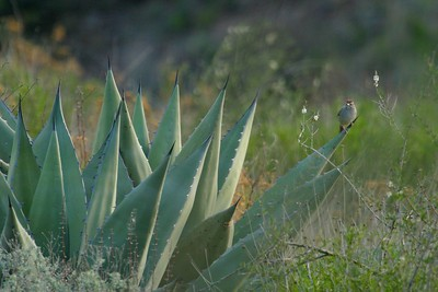 Green-tailed Towhee on Yucca [April; Big Bend National Park, Texas]