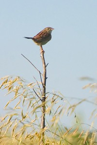 Formerly quite rare, the Henslow's Sparrow seems to be making a comeback on the grasslands of Minnesota [June; Blue Mounds State Park, Rock County, Minnesota]