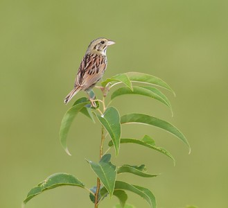 Henslow's Sparrows are threatened over much of their range. They prefer weedy prairies and grasslands which are disappearing. Where good habitats exist, several to many pairs may be found [July; Nachusa Grasslands owned by The Nature Conservancy, Franklin Grove, Illinois]
