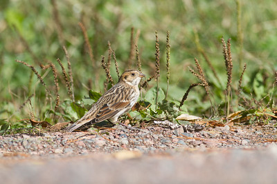 Lapland Longspur Superior National Forest Lake County MN-4006